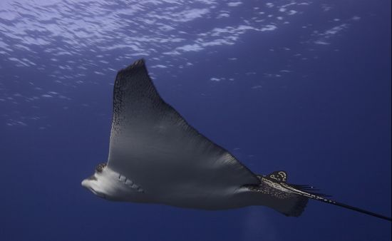 Spotted-Eagle-Ray-Aetobatus-narinari-at-Beacon-Point-Koh-Similan-Thailand-Lyle-Turner