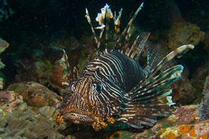 Lionfish-Pterois-at-Beacon-Reef-Koh-Similan-Thailand-by-Ron-Caswell