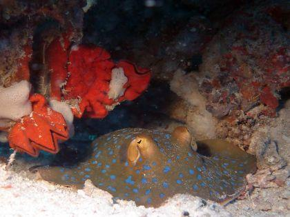 Blue-Spotted-Stingry-Neotrygon-kuhlii-at-Beacon-Reef-Koh-Similan-Thailand-Henry-and-Tersia