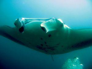Manta-Ray-Manta-alfredi-at-North-Point-Koh-Similan-Thailand