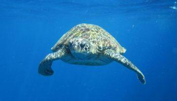 Diving Phuket turtles are often seen by divers and snorkellers
