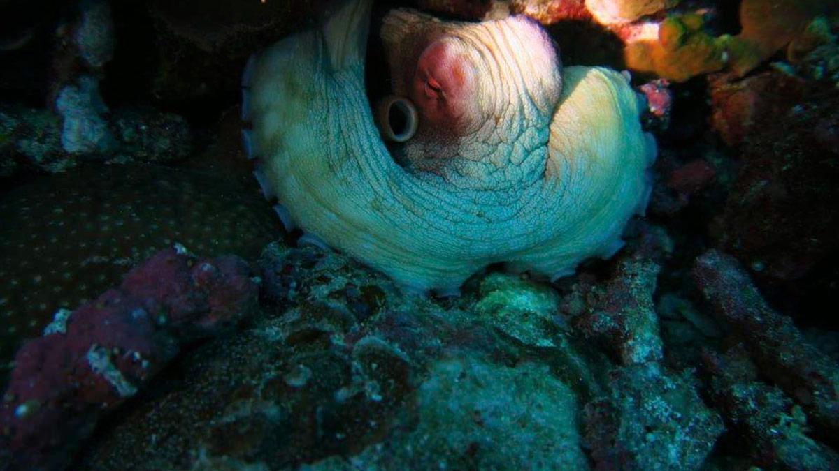 Octopus on a night dive at Koh Phi Phi Photo credit Helen Holmgren