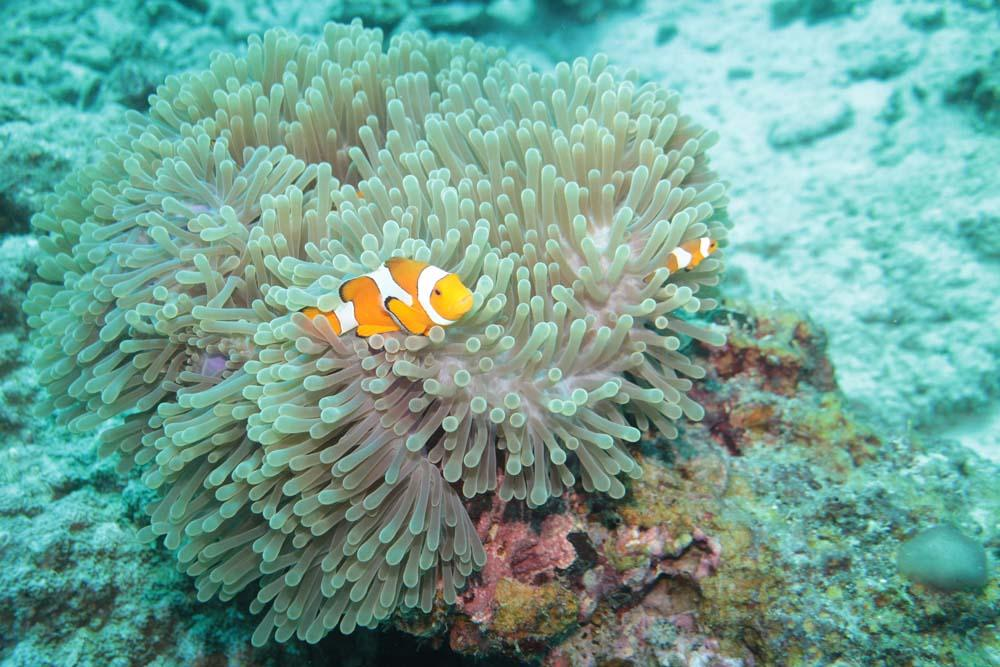Clown-anemonefish-Phi-Phi-dive-site-diving-liveaboard-Thailand_1.jpg