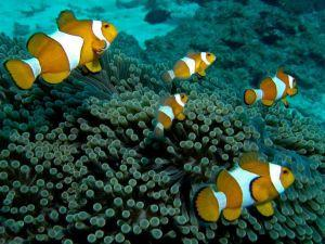 Clown Anemonefish Amphiprioninae at Hideaway Bay Thailand