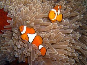Clown Anemonefish Amphrion ocellaris at Christmas Point Koh Similan Thailand Henry and Tersia