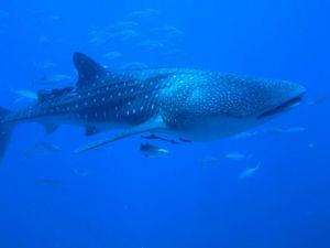 whale-shark-similan-islands