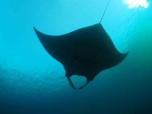thumb What to expect on a Similian liveaboard trip Manta Ray at Koh Bon