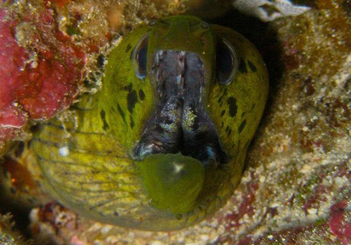 Fimbriated Moray Eel Gymnothorax Fimbriatus