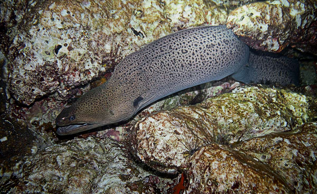 Giant Moray Eel Gymnothorax javanicus feeding at night