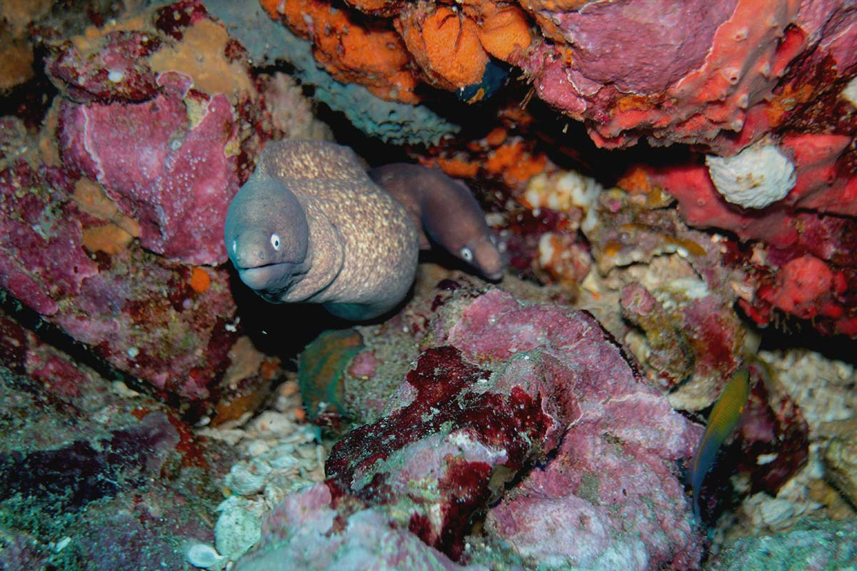 White Eyed Moray Eels Gymnothorax thyrsoideus at Richelieu Rock
