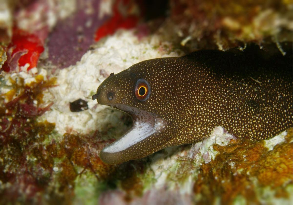 White Mouth Moray Eel Gymnothorax meleagris