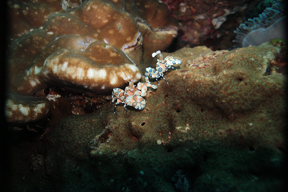 Harlequin-Shrimp-hiding-under-a-rock.jpg