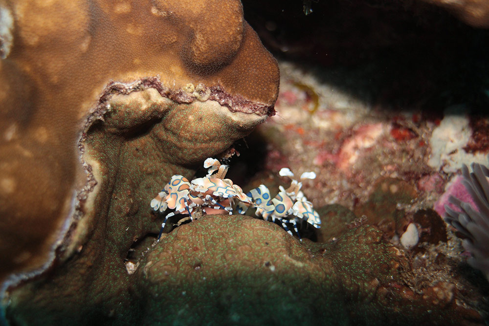 Harlequin-Shrimp.jpg