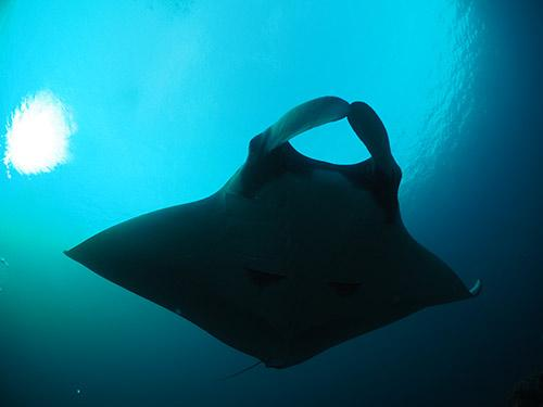scuba diving with manta rays intro