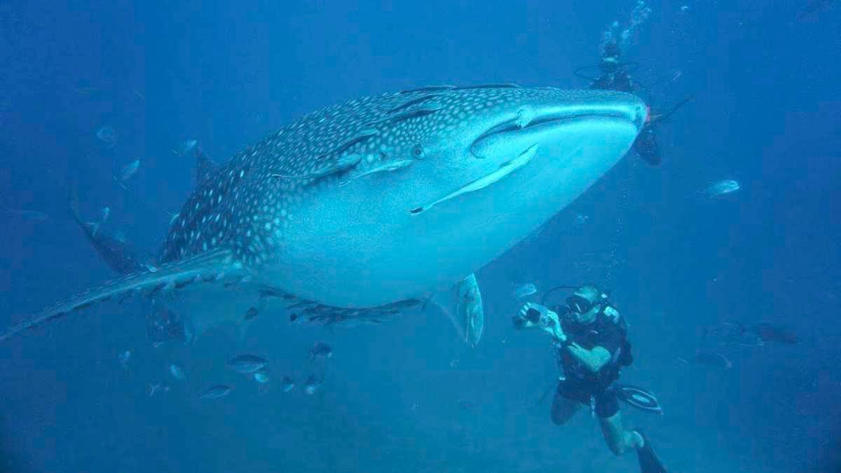 Whale Shark and diver photo credit Helen Holmgren