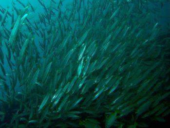 Schooling-fish-at-Boonsong-Wreck-Phang-Nga-Thailand-Ron-Caswell