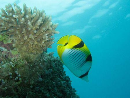 Butterfly-Fish-Chaetodontidae-at-Boulder-City-Koh-Similan-Thailand-Lyle-Turner