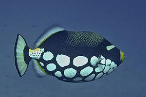 Clown-Triggerfish-Balistoides-conspicillum-at-Chinese-Wall-Koh-Similan-Thailand-by-Ron-Caswell