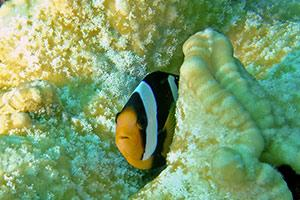 Clarks-Anemonefish-Aphiprion-clarkii-at-Chong-Khat-Bay-Koh-Surin