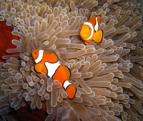 Clown-Anemonefish-Amphrion-ocellaris-at-Christmas-Point-Koh-Similan-Thailand-Henry-and-Tersia