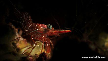 Durban-Shrimp-Rhynchocinetes-durbanensis-at-Christmas-Point-Koh-Similan-Thailand-Tim-Ho