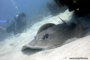 Blue-Spotted-Stingray-Neotrygon-kuhlii-at-Deep-Six-Koh-Similan-Thailand-by-Tim-Ho