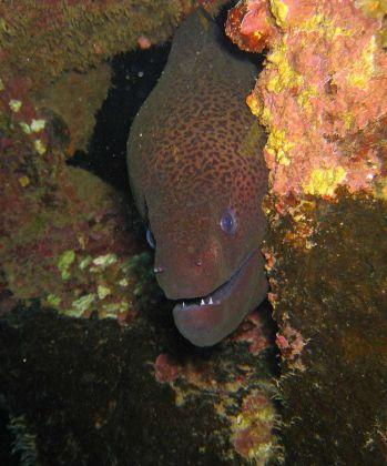Giant-Moray-Eel-Gymnothorax-javanicus-at-Deep-Sic-Koh-Similan-Thailand-Henry-and-Tersia