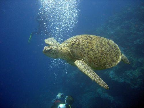 Green-Turtle-Chelonia-mydas-at-Donald-Duck-Bay-Koh-Similan-Thailand-Henry-and-Tersia