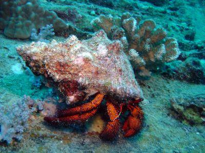 Hermit-Crab-at-Donald-Duck-Bay-Koh-Similan-Thailand-Henry-and-Tersia