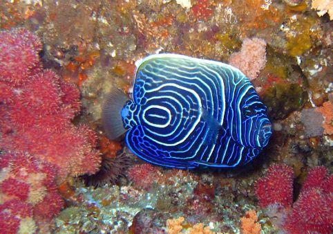 Blue-Ring-Angelfish-Pomacanthus-annularis-at-East-of-Eden-Koh-Similan-Thailand-Henry-and-Tersia