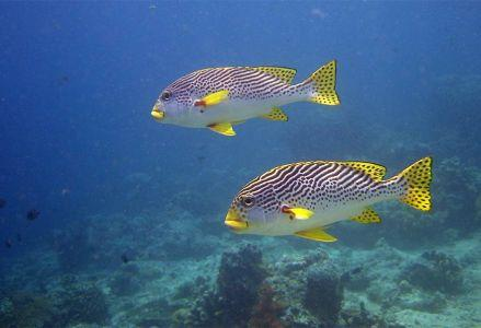 Yellowbanded-Sweetlips-Plectorhinchus-lineatus-at-East-of-Eden-Koh-Similan-Thailand-Henry-and-Tersia