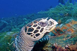 Turtle-at-Elephant-Head-Rock-Koh-Similan-Thailand-by-Ron-Caswell