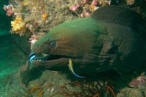 Giant-Moray-Eel-Gymnothorax-javanicus-at-Koh-Chi-Surin-Islands