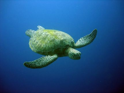 Green-Turtle-Chelonia-mydas-at-Koh-Khai-Surin-Phang-nga-Thailand-Henry-and-Tersia