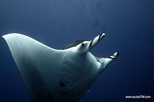 Manta-Ray-Manta-alfredi-at-North-Point-Koh-Similan-Thailand-by-Tim-Ho