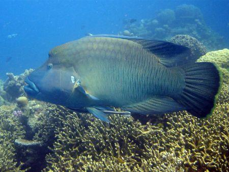 Humphead-or-Napoleon-Wrasse-Cheilinus-undulatus-at-Sharkfin-Reef-Koh-Similan-Thailand-Henry-and-Tersia