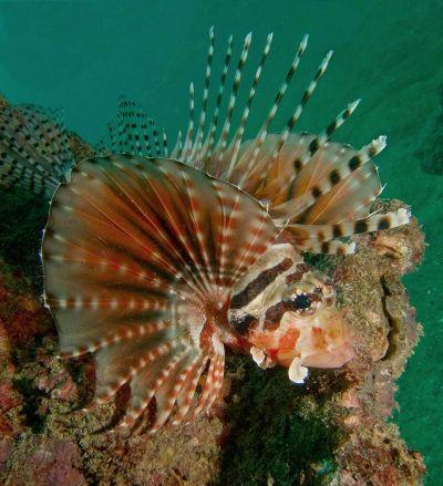 Lionfish-Pterois-at-Sharkfin-Reef-Koh-Similan-Thailand-Ron-Caswell