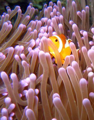 Clown-Anemonefish-Amphiprion-ocellaris-at-Stonehenge-Koh-Similan-Thailand-Henry-and-Tersia