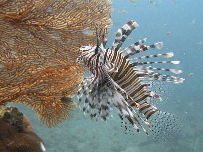 Lionfish-Pterois-at-Stonehenge-Koh-Similan-Thailand-by-Retozollo