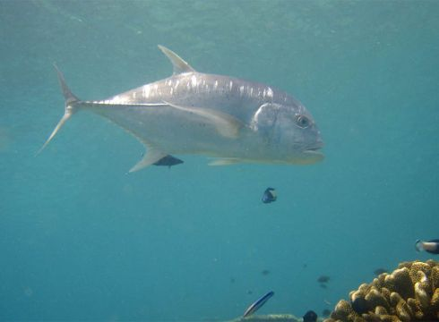 Trevally-Carangidae-at-West-of-Eden-Koh-Similan-Thailand-Henry-and-Tersia