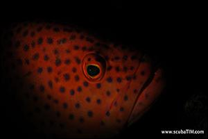 Grouper-at-Koh-Tachai-Thailand