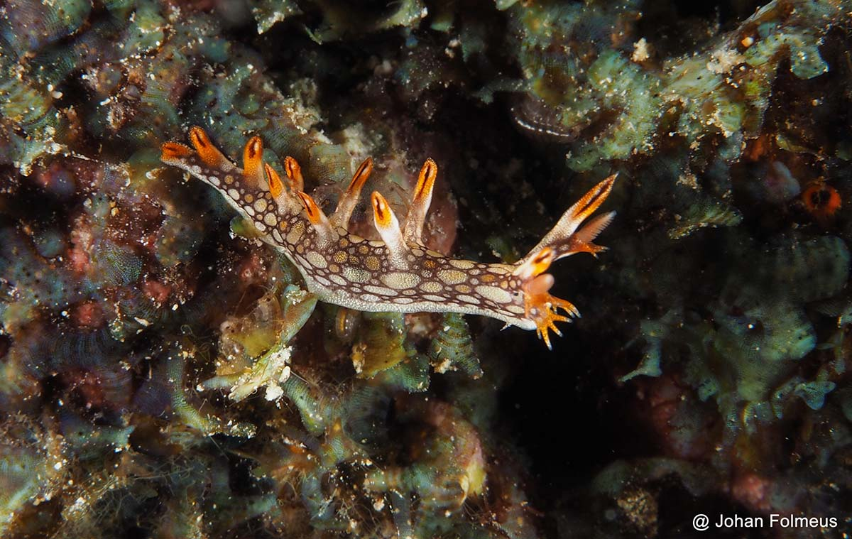 brown nudibranchs similanblog