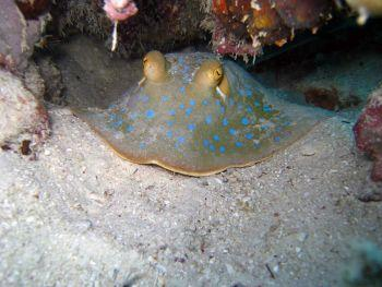 Blue-Spotted-Stingray-Neotrygon-kuhlii-at-Koh-Surin-Thailand-Henry-and-Tersia
