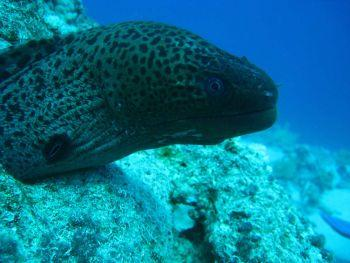 Giant-Moray-Eel-Gymnothorax-javanicus-at-Koh-Surin-Thailand-Henry-and-Tersia